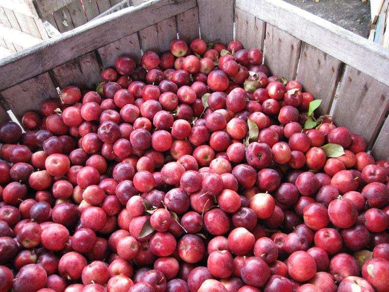 Очередная порция яблок уничтожена. Гусеничным трактором
