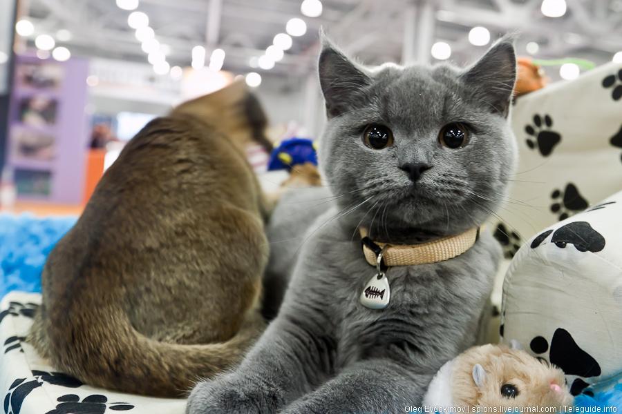 В ТРК «Амбар» состоится Международная выставка кошек