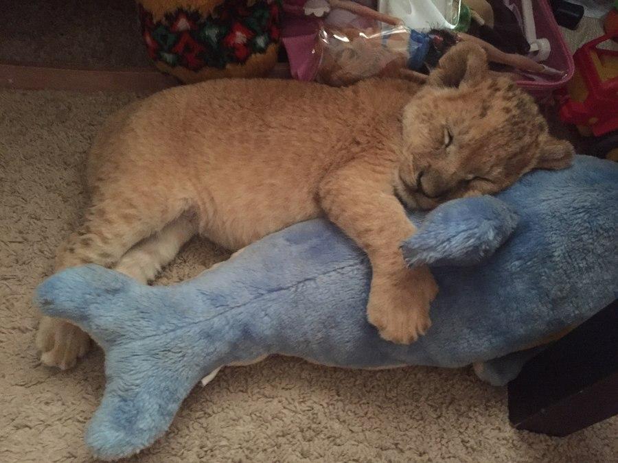 Зверьё моё: в самарской семье живет лев