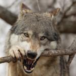 СМИ: В окрестностях Самарской луки объявились волки
