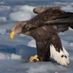 Краснокнижный орлан-белохвост застрелен охотником в Тольятти
