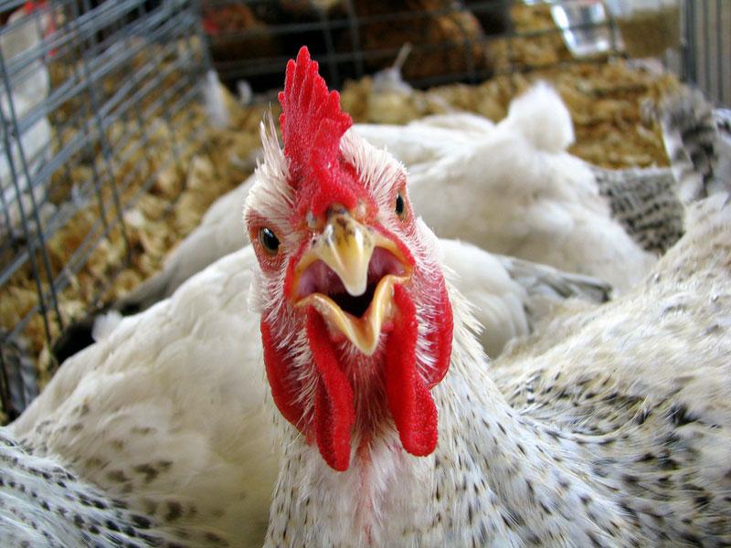 ЛДПР борется за сохранение Тольяттинской птицефабрики