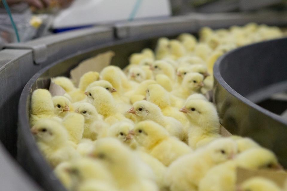 Тольяттинскую птицефабрику намерены банкротить